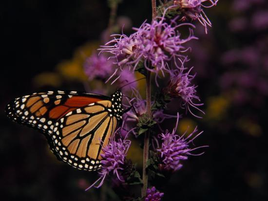 Monarch Butterfly Sipping Nectar from Wildflowers-Raymond Gehman-Photographic Print