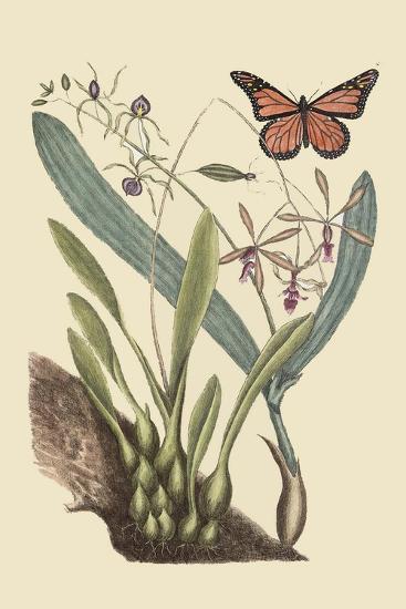 Monarch Butterfly-Mark Catesby-Art Print