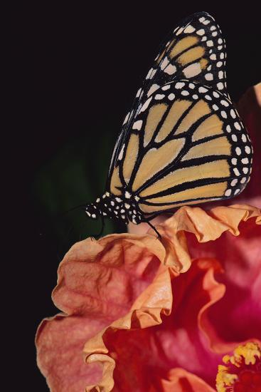 Monarch Butterfly-DLILLC-Photographic Print