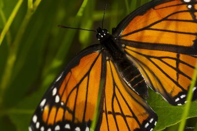 Monarch Butterfly-Gordon Semmens-Photographic Print