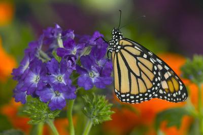 https://imgc.artprintimages.com/img/print/monarch-butterfly_u-l-q12t8bh0.jpg?p=0