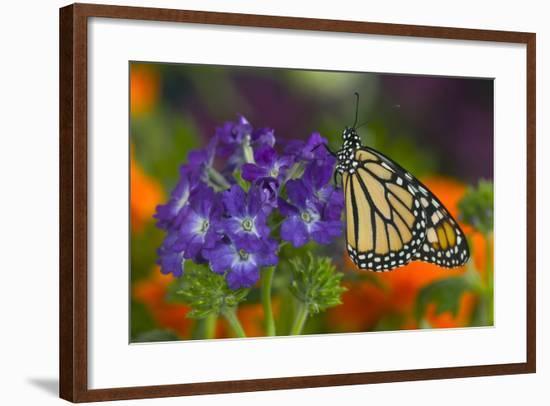 Monarch Butterfly-Darrell Gulin-Framed Photographic Print