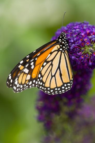 Monarch Butterfly-Darrell Gulin-Photographic Print