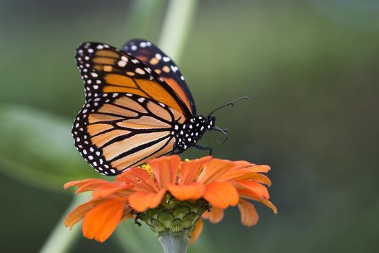 Monarch Butterfly--Photographic Print