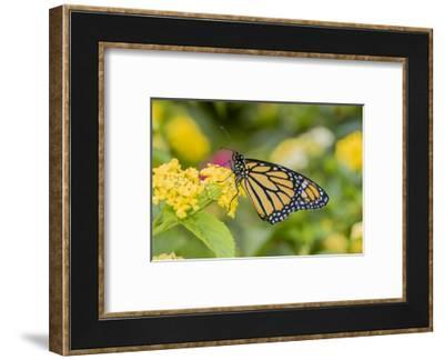 Monarch (Danaus Plexippus) on Lantana. Marion County, Illinois.-Richard & Susan Day-Framed Photographic Print