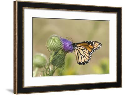 Monarch on Pasture Thistle, Prairie Ridge Sna, Marion, Illinois, Usa-Richard ans Susan Day-Framed Photographic Print