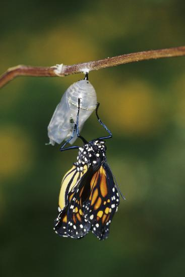 Monarch Pupa, Chrysalis before Emergence Marion County, Illinois-Richard and Susan Day-Photographic Print