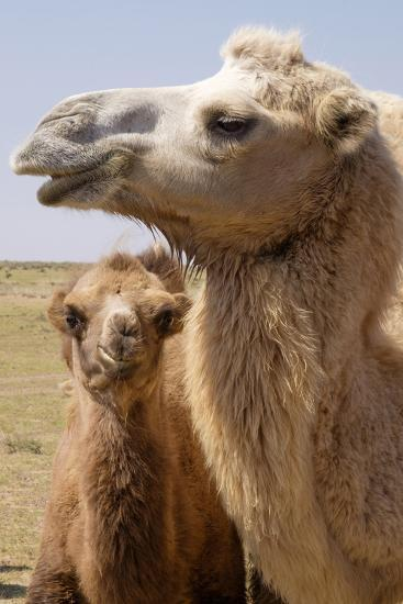 Mongolia, Lake Tolbo, Bactrian Camels-Emily Wilson-Photographic Print