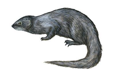 https://imgc.artprintimages.com/img/print/mongoose-herpestes-nyula-mammals_u-l-q135hti0.jpg?p=0