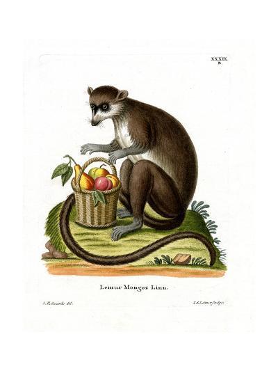 Mongoose Lemur--Giclee Print