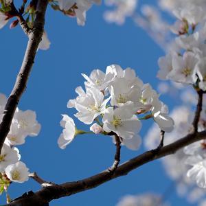 Apple Blossoms I by Monika Burkhart