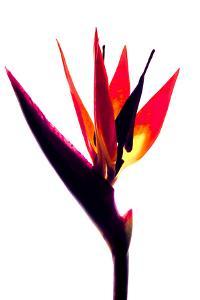 Bird of Paradise III by Monika Burkhart