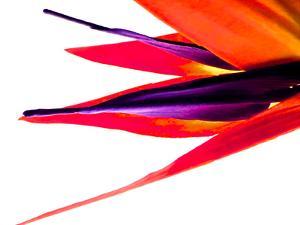 Bird of Paradise V by Monika Burkhart