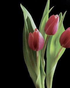 Blush of Spring II by Monika Burkhart