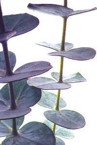 Eucalyptus I by Monika Burkhart