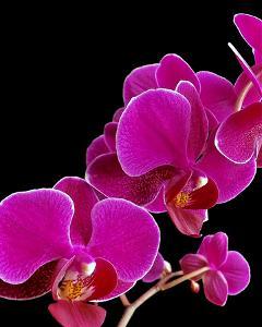 Orchid Essence I by Monika Burkhart