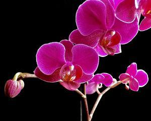 Orchid Essence II by Monika Burkhart