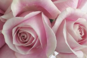 Perfectly Pink IV by Monika Burkhart