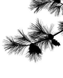 Pine Soliloquy I by Monika Burkhart