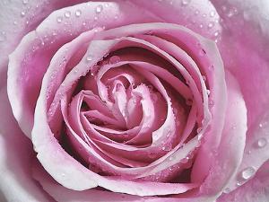 Raindrops & Roses II by Monika Burkhart