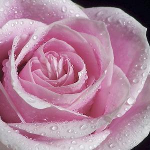 Raindrops & Roses IV by Monika Burkhart