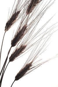 Wheat I by Monika Burkhart