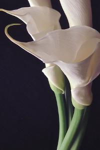 White Callas II by Monika Burkhart