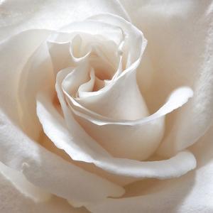 White Rose II by Monika Burkhart