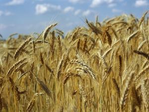 Ears of Wheat in Field by Monika Halmos