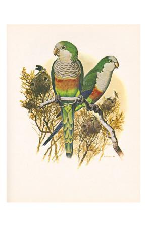 Monk Parakeet no. 461--Art Print
