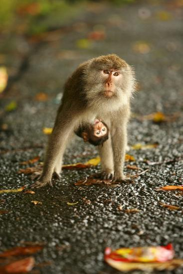 Monkey and Baby, Sacred Monkey Forest, Bali, Indonesia, Southeast Asia, Asia-Laura Grier-Photographic Print