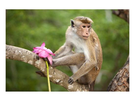 Monkey in the Temple District of the Dambulla Cave Temple, Sri Lanka--Art Print