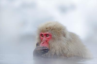 Monkey Japanese Macaque, Macaca Fuscata, Red Face Portrait in the Cold Water with Fog and Snow, Han-Ondrej Prosicky-Photographic Print