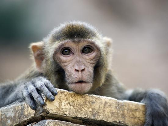 Monkey (Rhesus Macaque) at Monkey Temple, Galta-Lindsay Brown-Photographic Print
