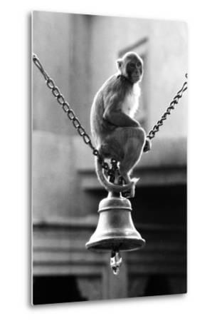 Monkey Sitting on a Durga Temple Bell, Varanasi, Uttar Pradesh, India, 1982