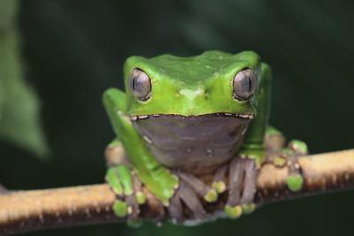 Monkey Tree Frog Perched on a Branch-DLILLC-Photographic Print
