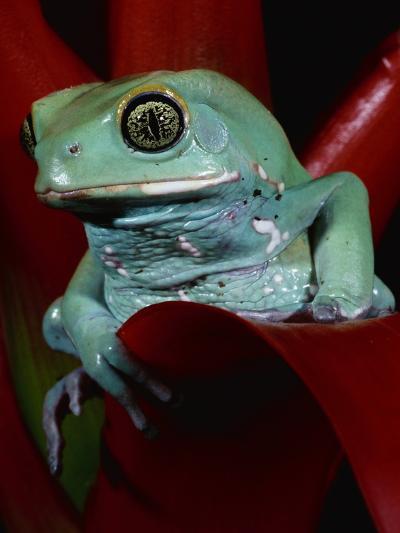 Monkey Tree Frog-David Northcott-Photographic Print