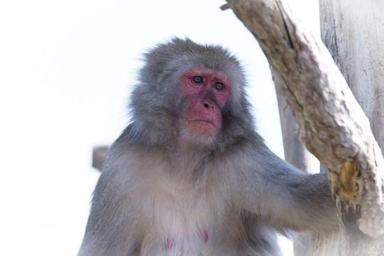 Monkey-Gordon Semmens-Photographic Print