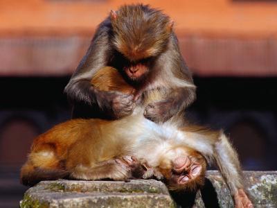 Monkeys at the Temple Complex, Pashupatinath, Bagmati, Nepal-Richard I'Anson-Photographic Print