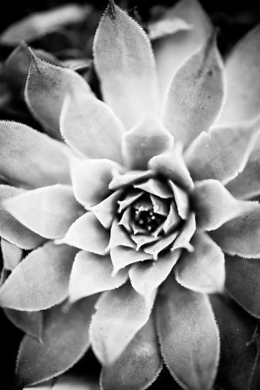 Monochrome Succulent I-Erin Berzel-Photographic Print