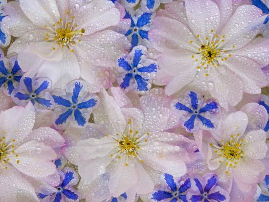 Montage of Cherry Blossoms and Blue Flowers-Don Paulson-Photographic Print