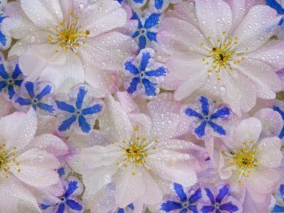 https://imgc.artprintimages.com/img/print/montage-of-cherry-blossoms-and-blue-flowers_u-l-p86t3z0.jpg?p=0