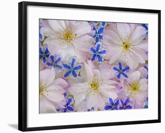 Montage of Cherry Blossoms and Blue Flowers-Don Paulson-Framed Photographic Print
