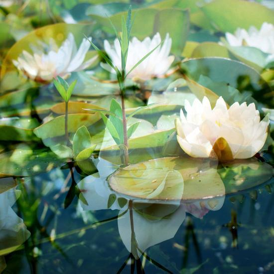 Montage of White Water Lilies-Alaya Gadeh-Photographic Print