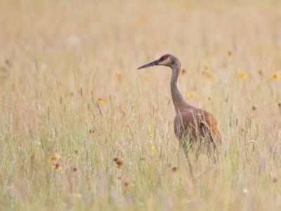 Montana, a Sandhill Crane Walks Through a Meadow of Wildflowers-Elizabeth Boehm-Photographic Print