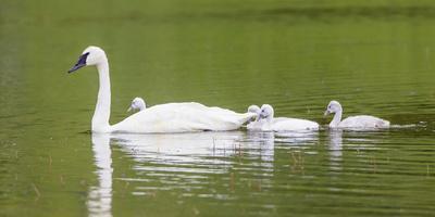 https://imgc.artprintimages.com/img/print/montana-elk-lake-a-trumpeter-swan-adult-swims-with-four-of-it-s-cygnets_u-l-q13bexz0.jpg?p=0