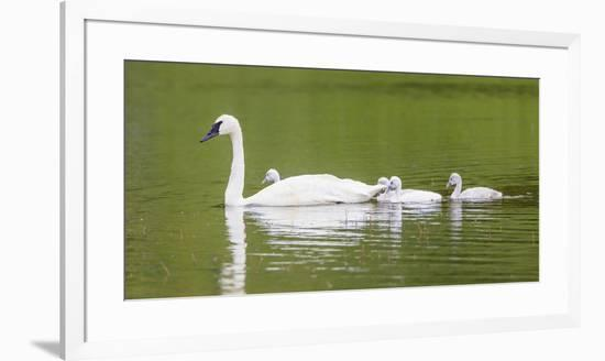 Montana, Elk Lake, a Trumpeter Swan Adult Swims with Four of it's Cygnets-Elizabeth Boehm-Framed Photographic Print