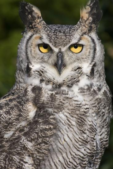 Montana Great Horned Owl Adult--Photographic Print