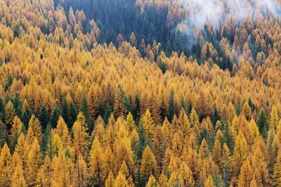 Montana, Lolo National Forest, golden larch trees in fog-John & Lisa Merrill-Premium Photographic Print