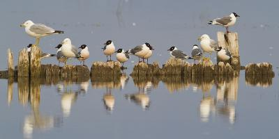 Montana, Red Rock Lakes, Franklyns Gulls and Ring Billed Gulls Roost-Elizabeth Boehm-Photographic Print
